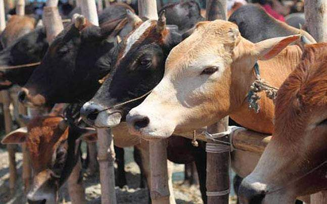 cow-slaughter-pti_