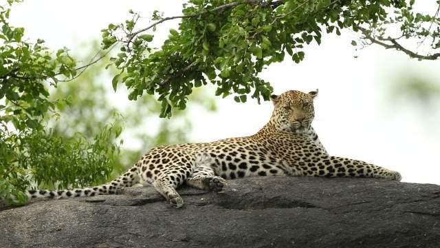 466262-leopard-representational-getty