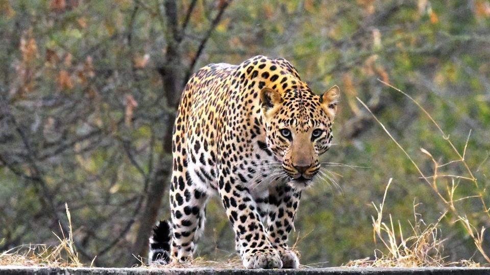 leopard-hemant-jhalana-area-hingonia-jaipur-photo_2b8a58d0-1843-11e7-8dd7-d947b0232760
