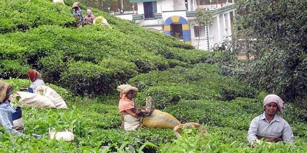 Tea_plantation_workers