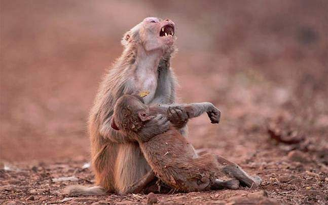 monkey-photo-child-unconscious-jabalpur-avinash-647_051117083348