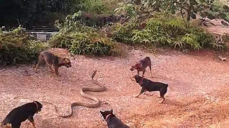 5-dog-beat-cobra-795x447