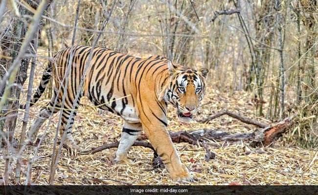 bandhavgarh-tiger-mid-day_650x400_61497938296