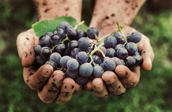 grapesyuti
