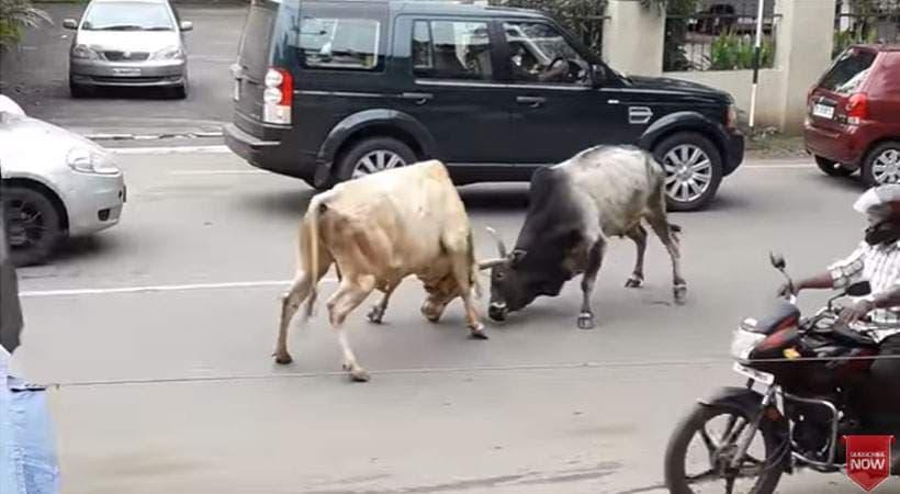 cowjkljklj