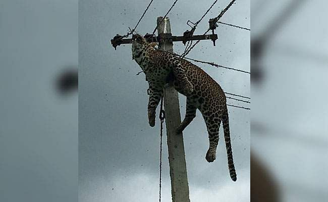 leopard-died-of-shock-650_650x400_71499153761