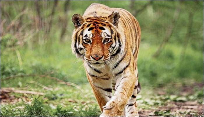 tiger123