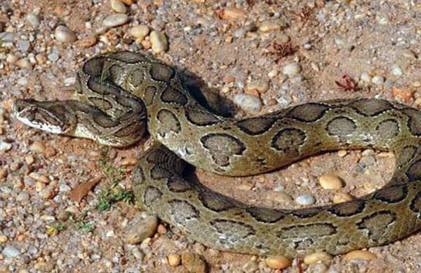 viper_snake