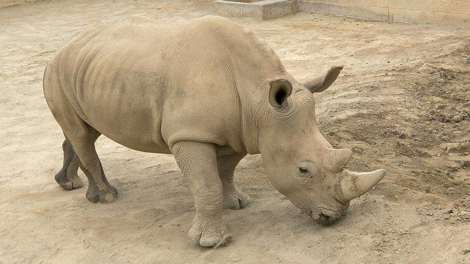 rhino-surrogate-mothers_