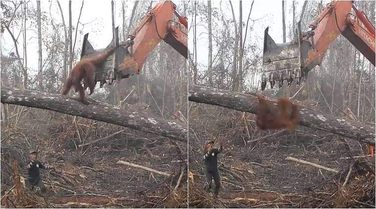 orangutan-tries-to-save-treebnbnm
