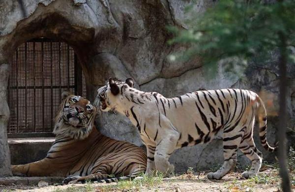 delhi-zoo-tigers