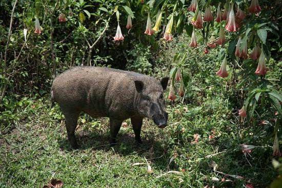 forest_pig