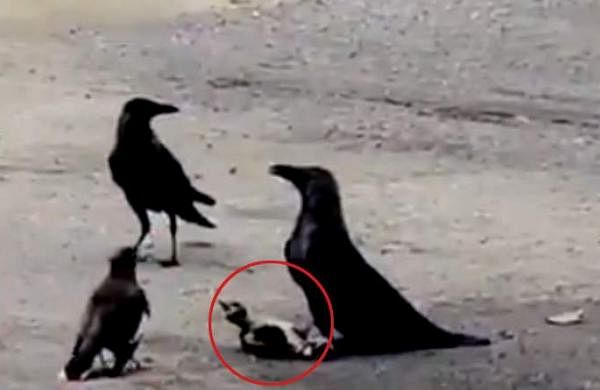 mynah-fights-fierce-battle-with-crows-to-save-baby-bird
