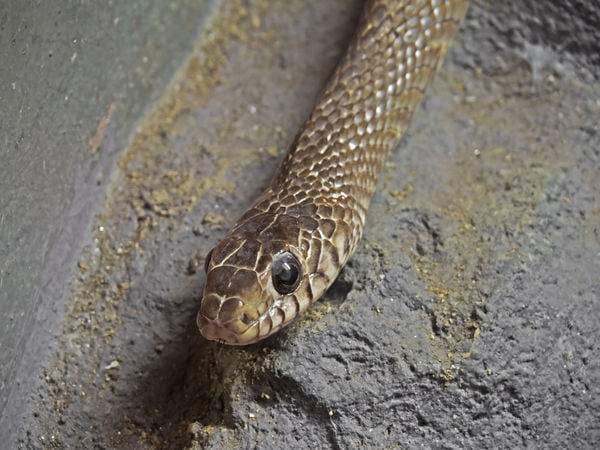 Snakebite1