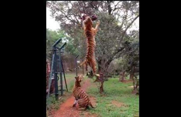 national animal tiger