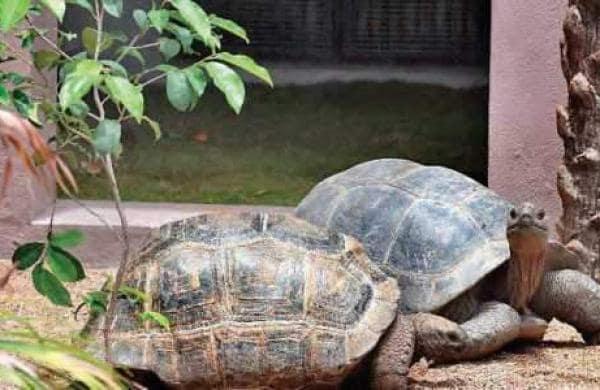 Giant tortoise missing