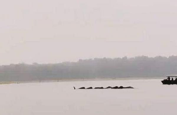 elephants swim across the river