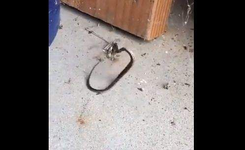 snake traped in web