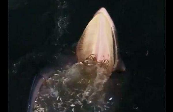 whale taling its meal