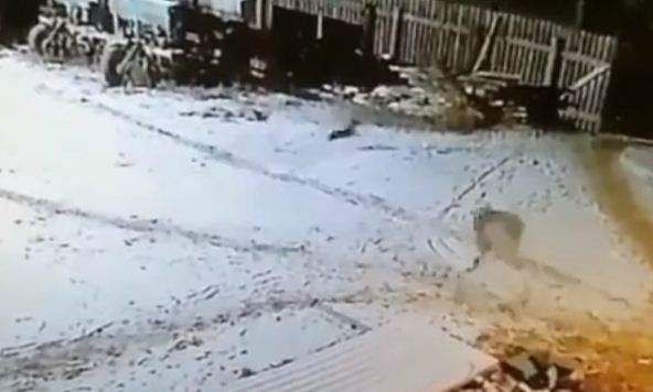 WOLF ATTACKS DOG