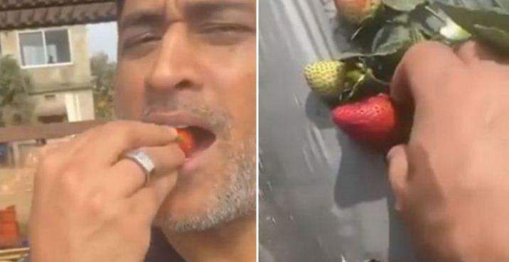 dhoni_eating_strawberry_from_his_farm