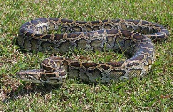 python vomits out dog