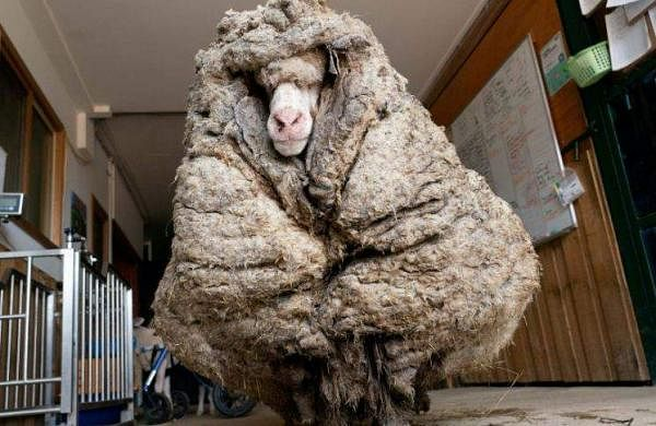 35 kg of wool grown on the body