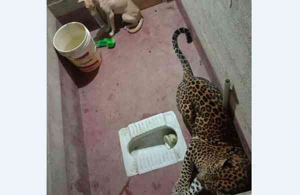 The leopard and the pet dog were trapped