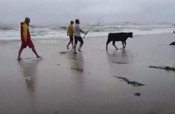 Lifesavers rescue cow that was swept onto beach
