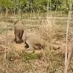 elephant calf protects mother