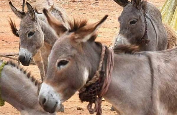 Eating donkey meat increases