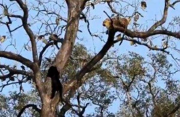 an epic encounter between a black panther and leopard