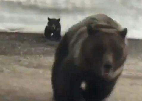 Mother bear rescuing baby