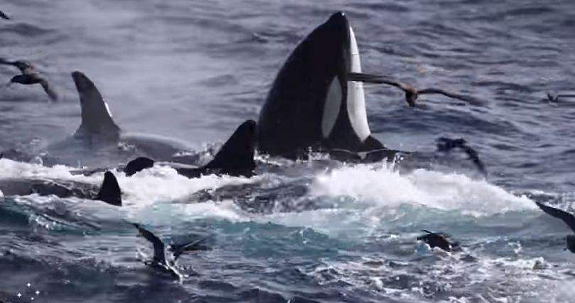 blue-whale attacked by group of orca