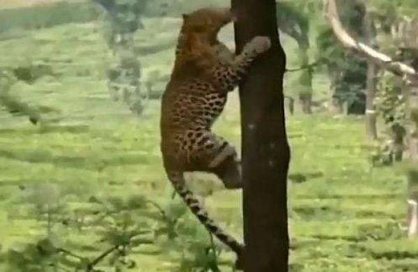 leopard leaping into the tree
