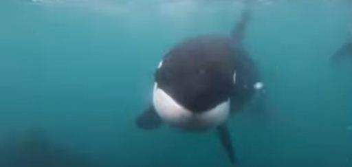 Man comes face to face with two killer whales while swimming, shares incredible footage