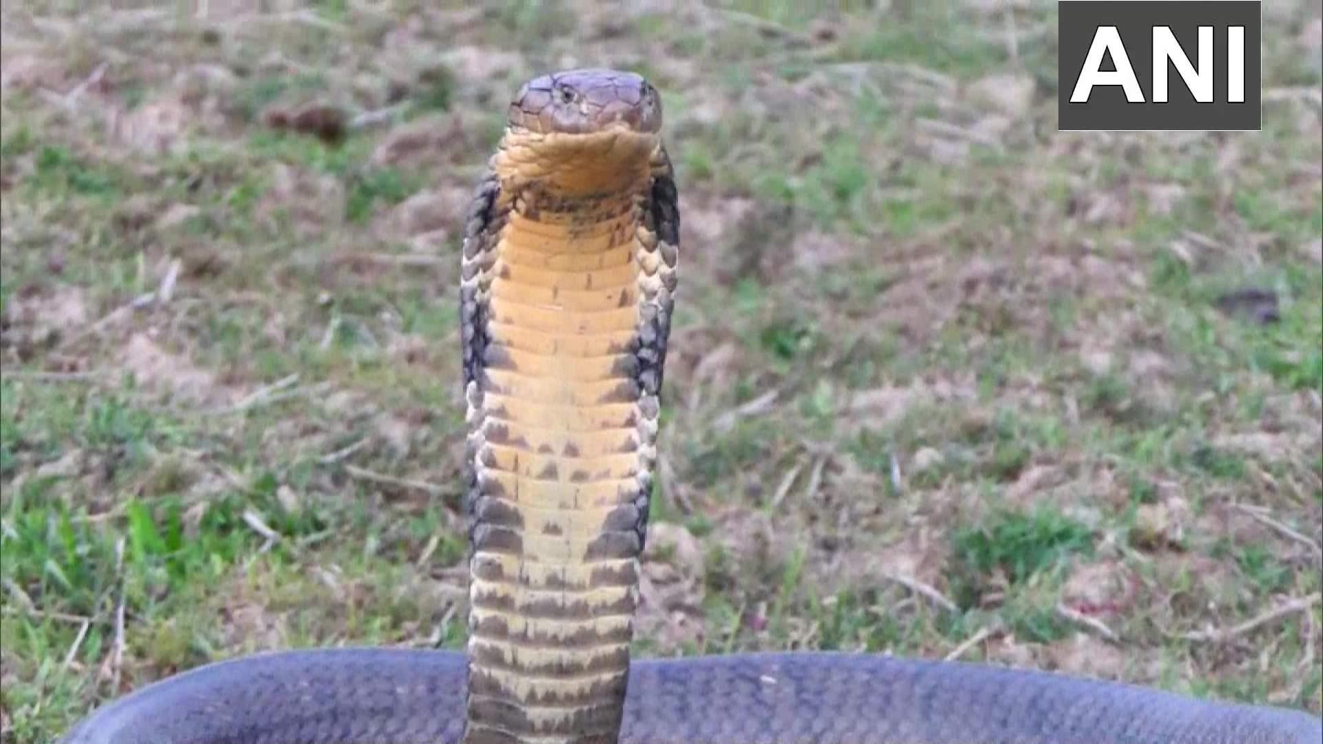 A 16-foot-long giant king cobra