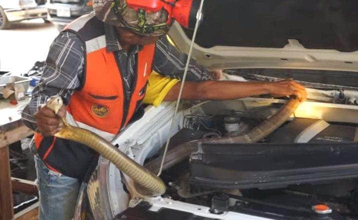 king cobra in car engine