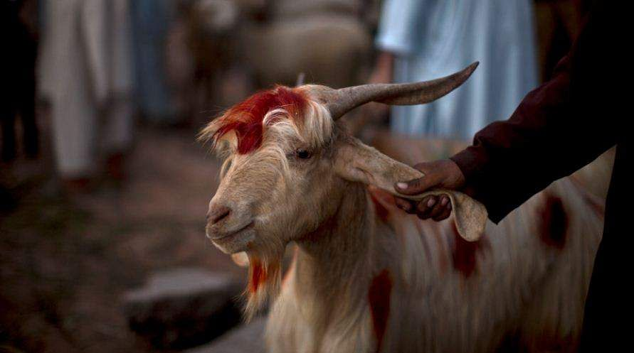 goat theft