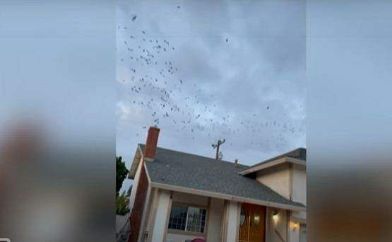 hundreds of birds swoop down to chimney