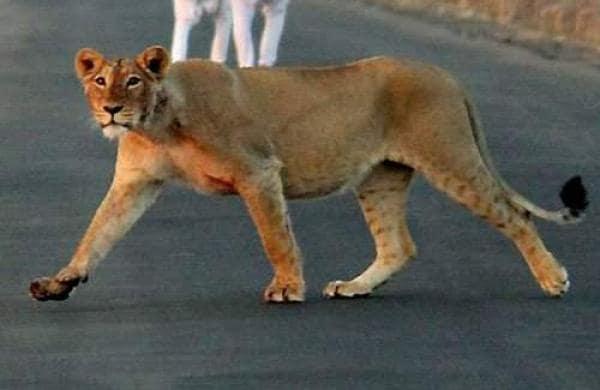 lionesspt