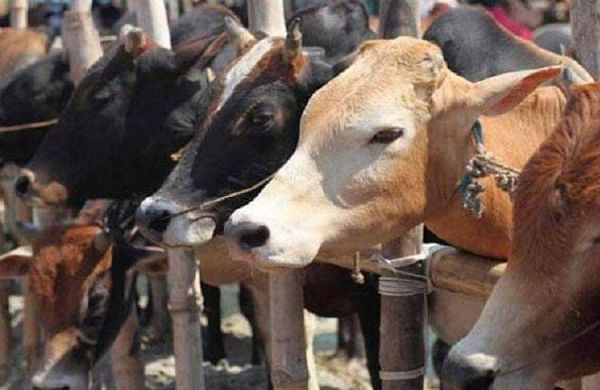 cows-cattle-sale-skjkljk