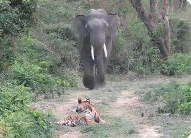elephant comes across tiger