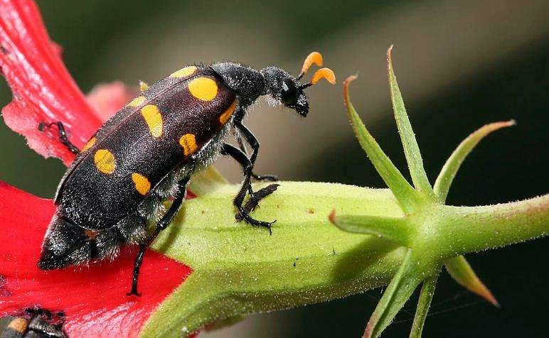 blister beetle attack