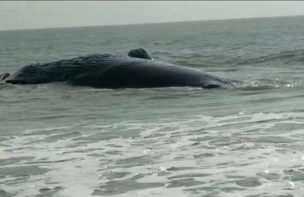 blue whale sound recorded by researchers