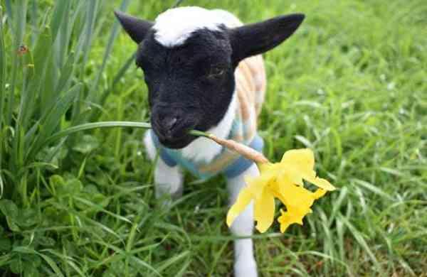 Tiny miracle lamb