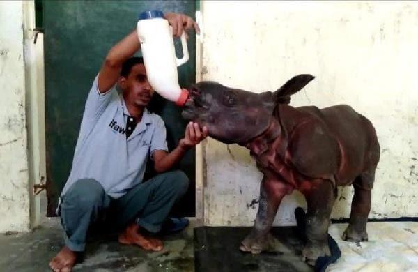 rhino_calf_rescued