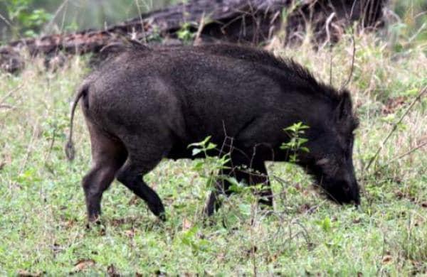 wild boar hit the bike